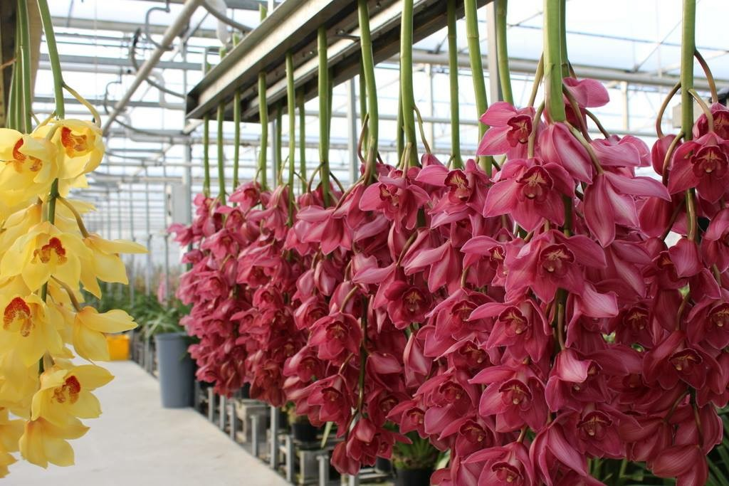 Mayflower importers premium orchids tropical flowers for Flowers in season now